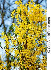 装飾用, 黄色の花, 低木, forsythia