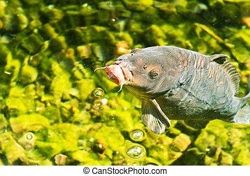 裝飾, 鯉魚, 在, 綠寶石, 水