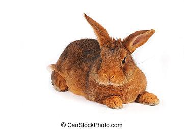 褐色的兔子