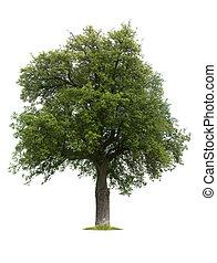 西洋ナシの木