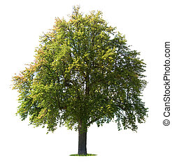 西洋ナシの木, 隔離された
