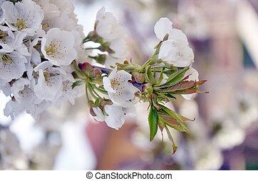 西洋ナシの花