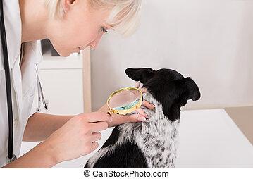 見る, 獣医, 犬, 毛, ガラス, によって, 拡大する