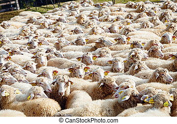 見る, 白, ペン, sheeps, カメラ。