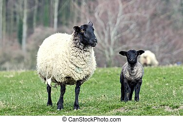 見る, 私, 雌羊
