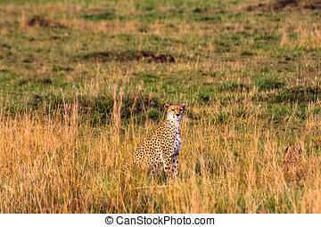 観測点, 中に, ∥, savanna., kenya, アフリカ