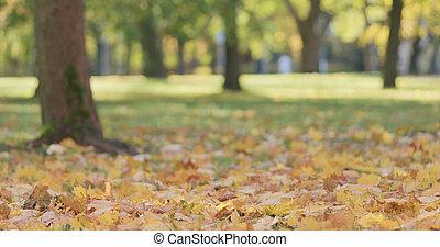 角度, 离开, 公园, 秋季, 低, 射击, 枫树