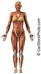 解剖学, の, 女性, 筋肉 システム