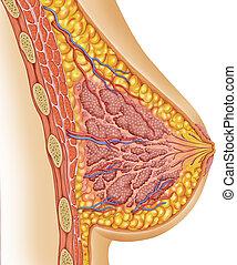 解剖学, の, 女性, 胸