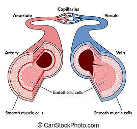 解剖学, の, 血管