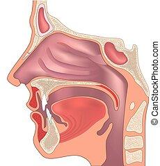 解剖学, の, ∥, 鼻, そして, throat., 人間, 器官, structure., 医学の印