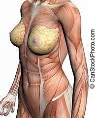 解剖学, の, a, woman.