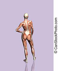 解剖学, の, ∥, woman.