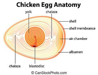 解剖学, チキン卵