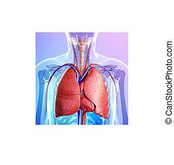 解剖学, マレ, 肺