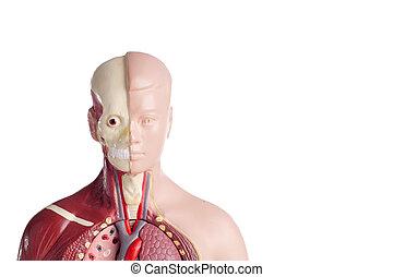 解剖学, モデル, 人間