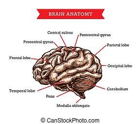 解剖学, 人間の頭脳, ベクトル, 薬, 援助, 案