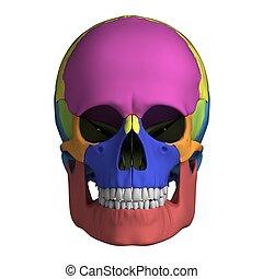 解剖学, 人間の頭骨