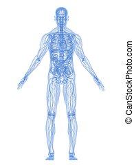 解剖学, 人間