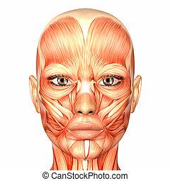 解剖学, 女性の額面