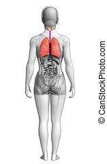 解剖学, 女性, 肺