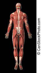 解剖学, 尻, システム, 筋肉, 光景