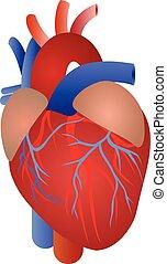 解剖学, 心, 人間