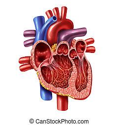 解剖学, 心, 内部, 人間