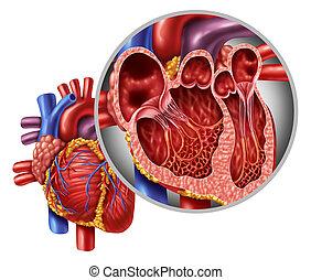 解剖学, 心, 概念