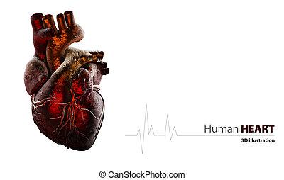 解剖学, 心, 白, 隔離された, 人間