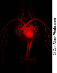 解剖学, 心, 赤