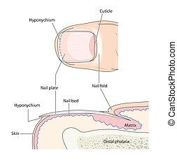 解剖学, 指の爪