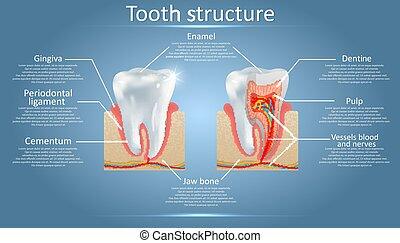 解剖学, 歯医者の, 歯, 図, ベクトル, 構造