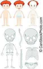 解剖学, 男の子, わずかしか