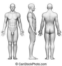 解剖学, 男性の組織体