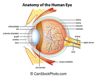 解剖学, 目, 人間