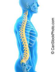 解剖学, 脊柱, マレ, 人間