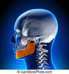 解剖学, 脳, -, あご