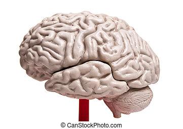 解剖学, 脳, の上, 人間, 終わり