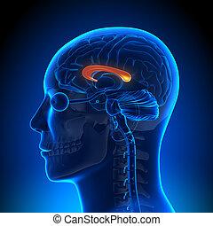 解剖学, 脳, コーパス, -, callosum