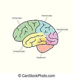 解剖学, 脳, ベクトル, 人間, イラスト