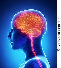 解剖学, 脳, 側面, 女性, 光景