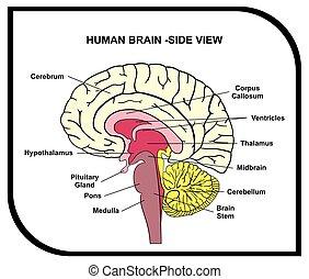 解剖学, 脳, 図, 人間