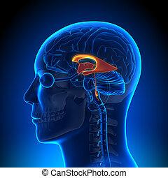 解剖学, 脳, -, 心室