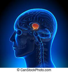 解剖学, 脳, -, hippotalamus