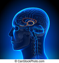 解剖学, 脳, limbic, -, システム