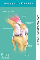 解剖学, 膝, joint.