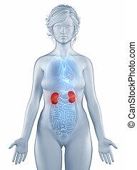 解剖学, 隔離された, ポジション, 女, 腎臓