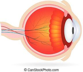 解剖学, eye.