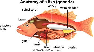 解剖学, fish